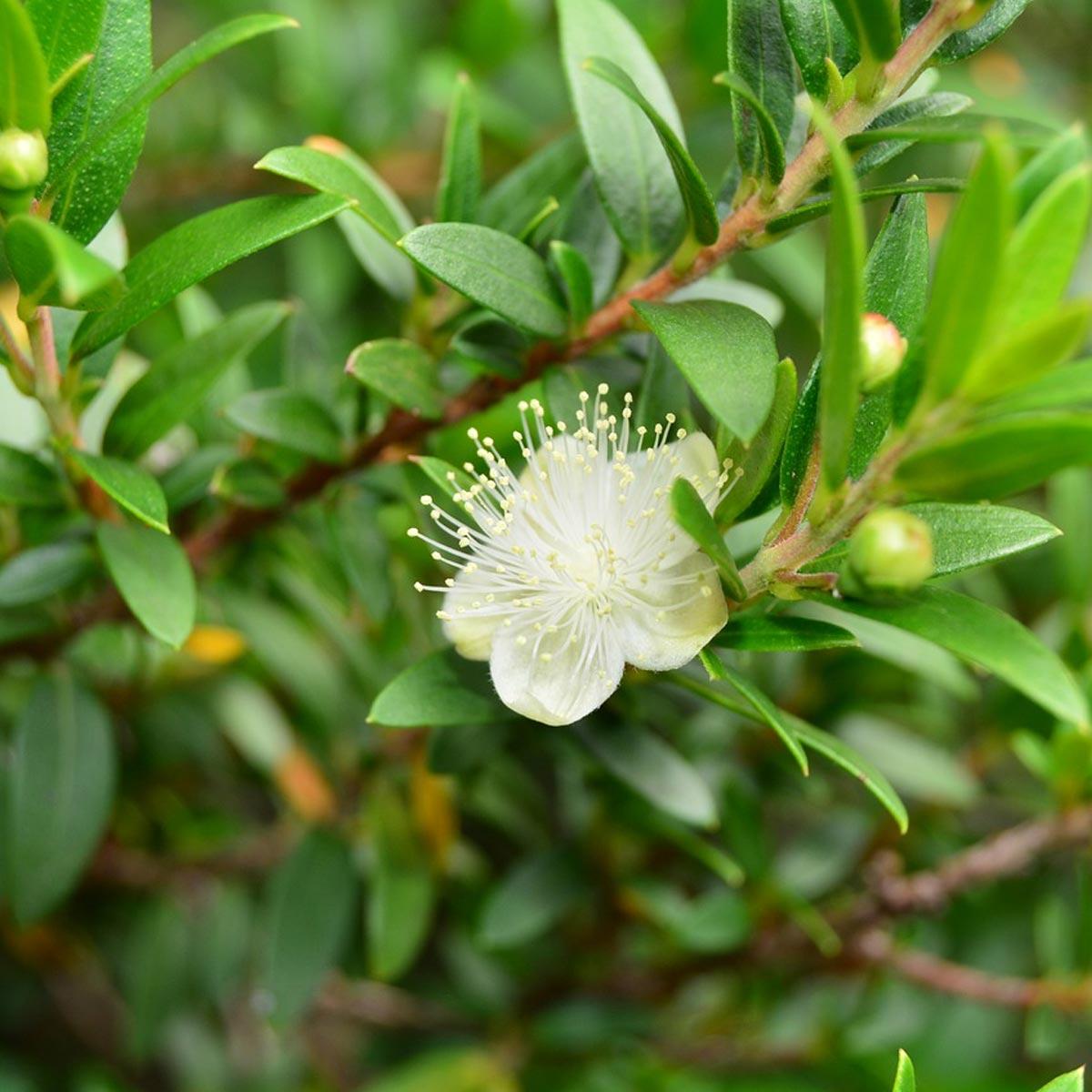 Arbustos mediterráneos ornamentales [Los 5 más decorativos] - Mirto