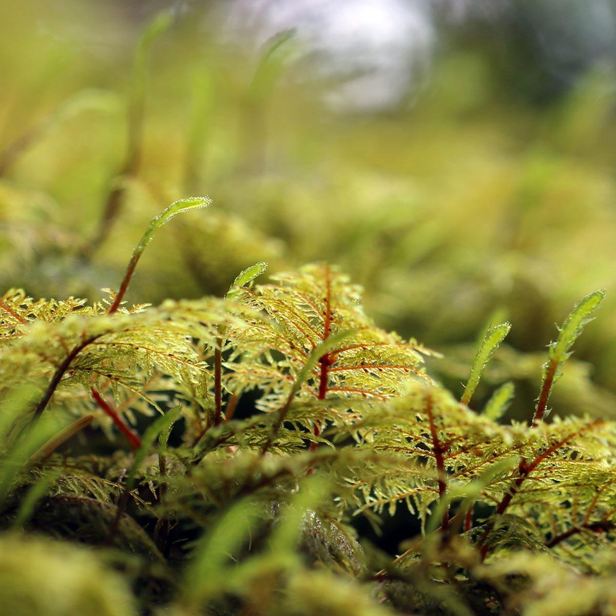 Hylocomium splendens - Musgos para diseños de jardinería y paisajismo