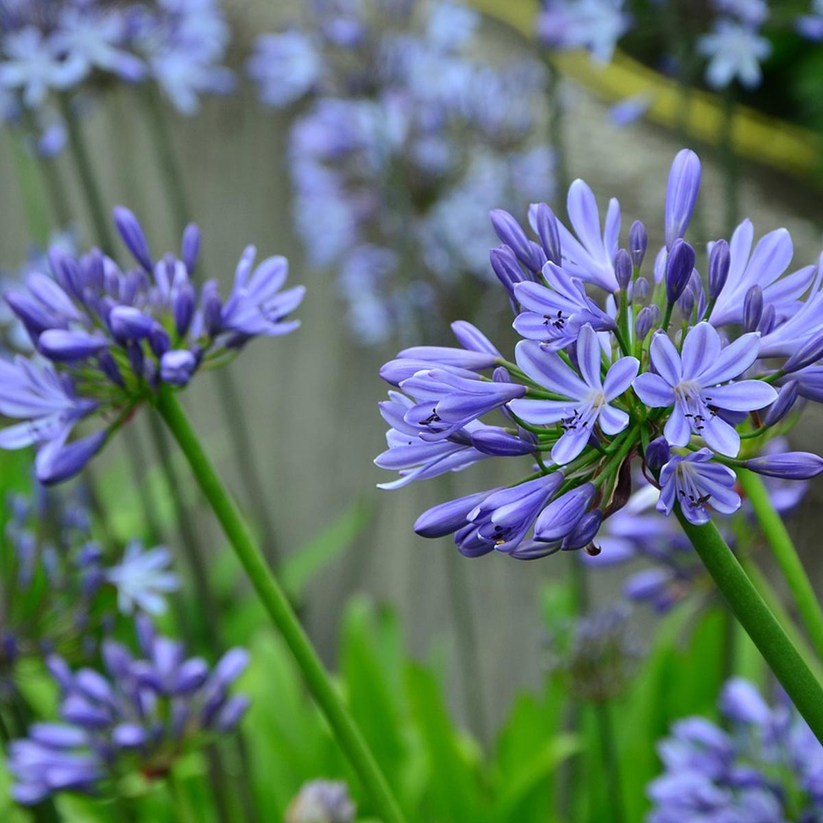 Jardines en balcones: Mejores plantas para crearlos - Agapanto